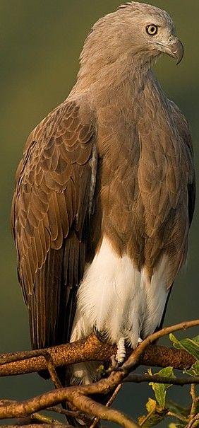 Lesser Fish Eagle // Pygargue nain