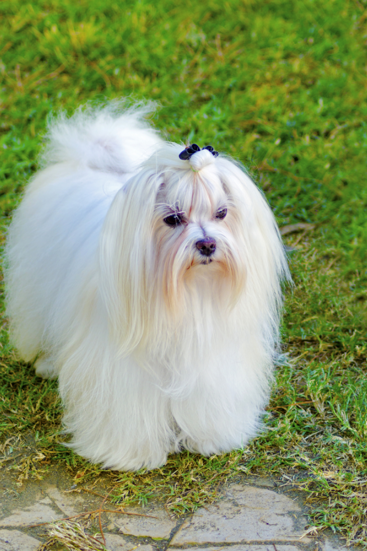 A View Of A Small Young And Beautiful Maltese Show Dog With Long White Coat Standing On The Lawn Maltese Dogs Have Silk In 2020 Maltese Dog Stock Photo Maltese Dogs