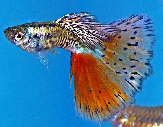 Half Black Red Moscow Fire Tail Guppy Guppy Guppy Fisch