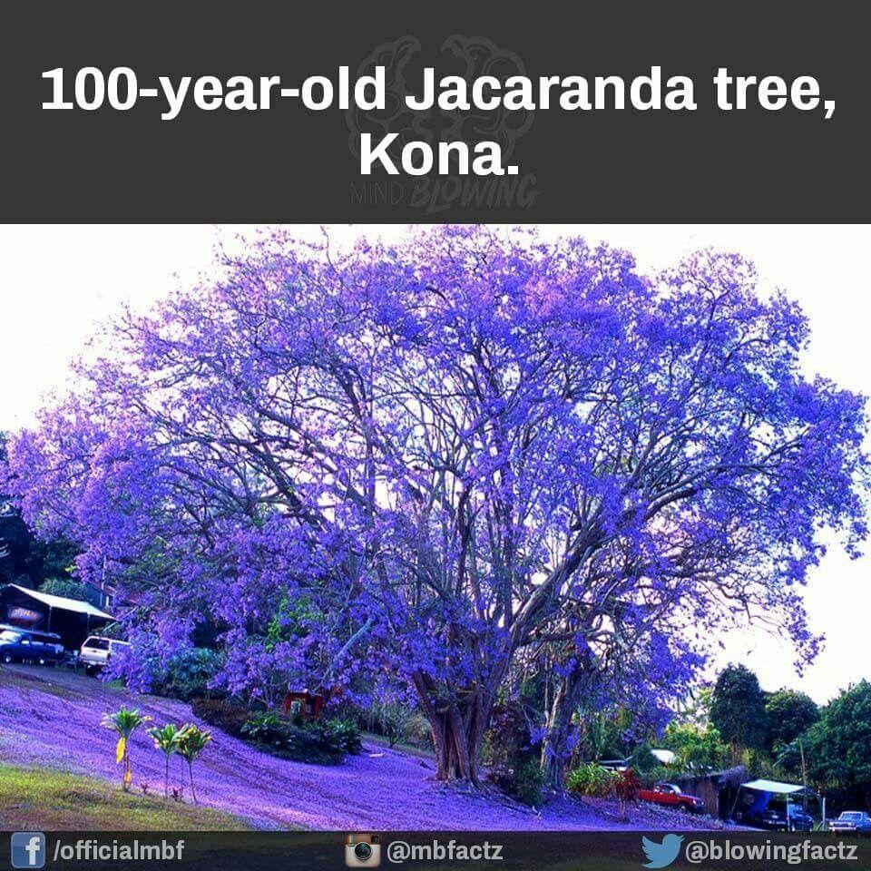 jacaranda tree kona, hi purple passionjacaranda tree kona, hi neon purple, delphinium, wisteria, lilac, lavender,
