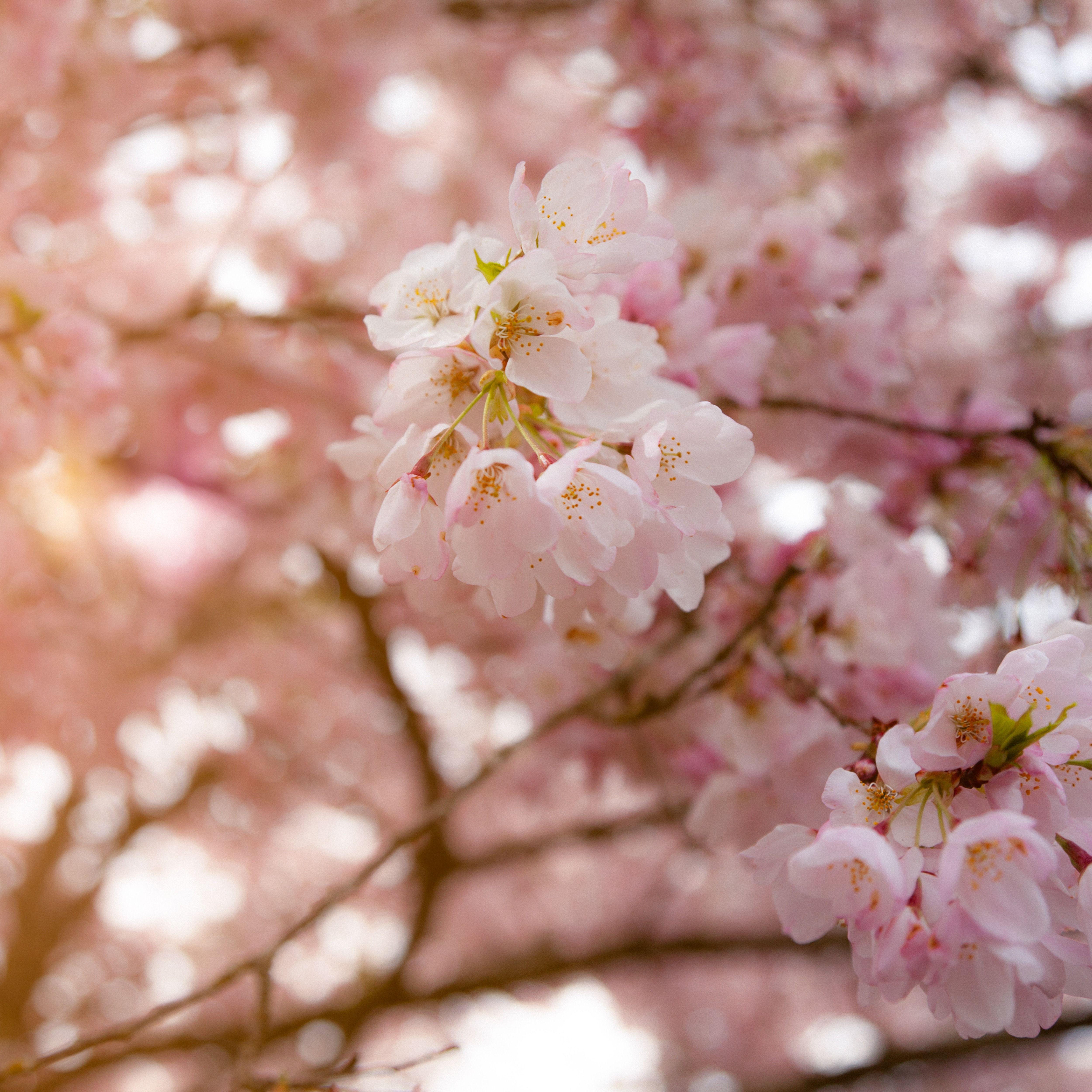 Pink Sakura Vibes Flower Aesthetic Orange Aesthetic Vibes Art