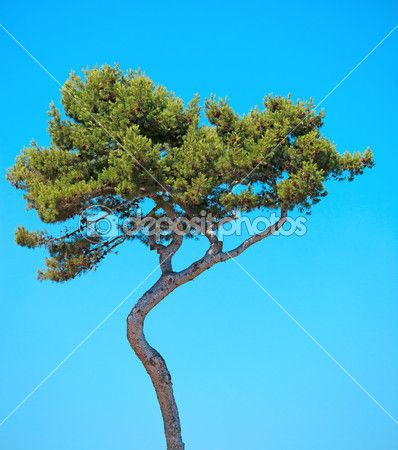 Maritime Pine curved tree on blue sky background. Provence, Fran — Stock Photo ©…