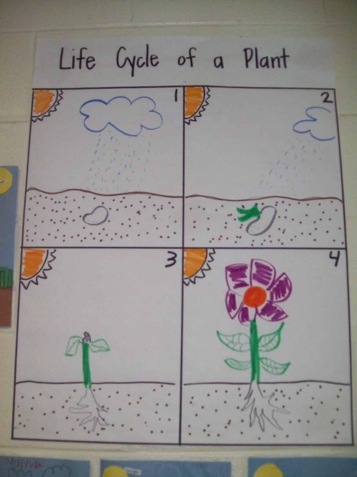 Plant Life Cycle With Images