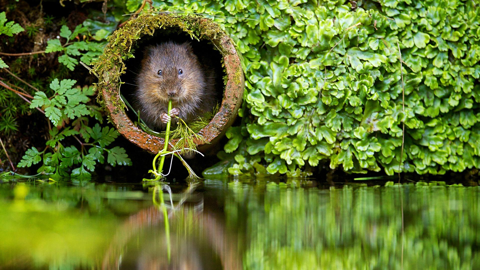 Windows 10 Lock Screen Dump Water Vole Flossing Animals