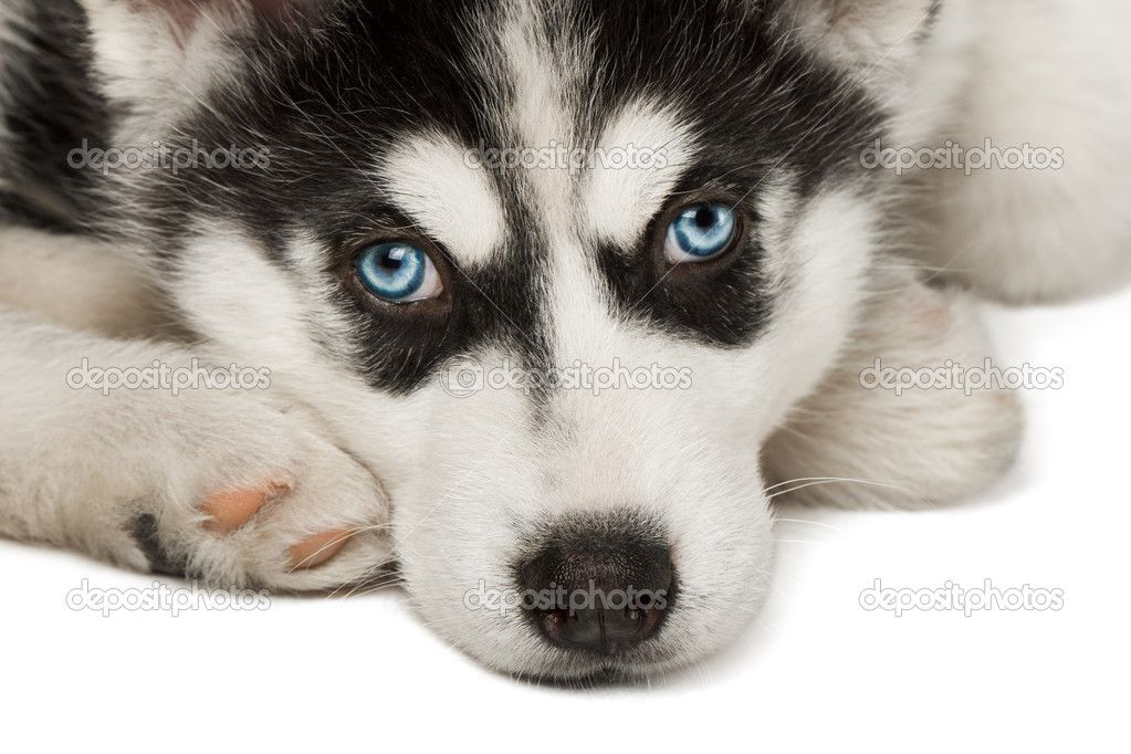 Close Up Of Husky Puppy Muzzle Or Face Stock Photo C Vir4ello