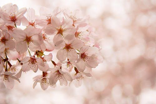 Onecraftyfox She S So Fabulous Liesl Cherry Blossom Japan Flowers Sakura