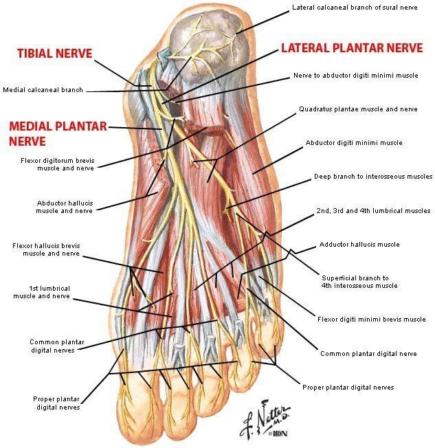 Plantar Foot Anatomy Nerves FA07 | Nursing School and Education ...