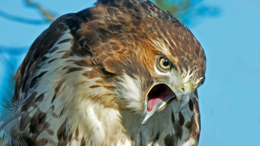 Wings Tag wallpapers Page 3: Hawk Predator Catch Prey Bird White ...