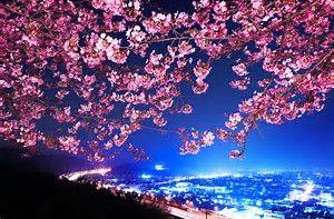 Image Result For Night Blue Flowers Cherry Blossom Wallpaper Anime Cherry Blossom Sakura Tree