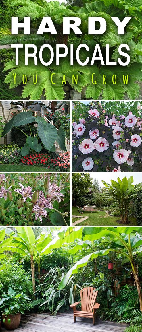 tropical garden #gardencare Hardy Tropicals You Can Grow! Check out these tips! We found these hardy tropicals you can grow, just about anywhere! Some of them are pretty hardy in all but the coldest climates and some of them need some winter protection.