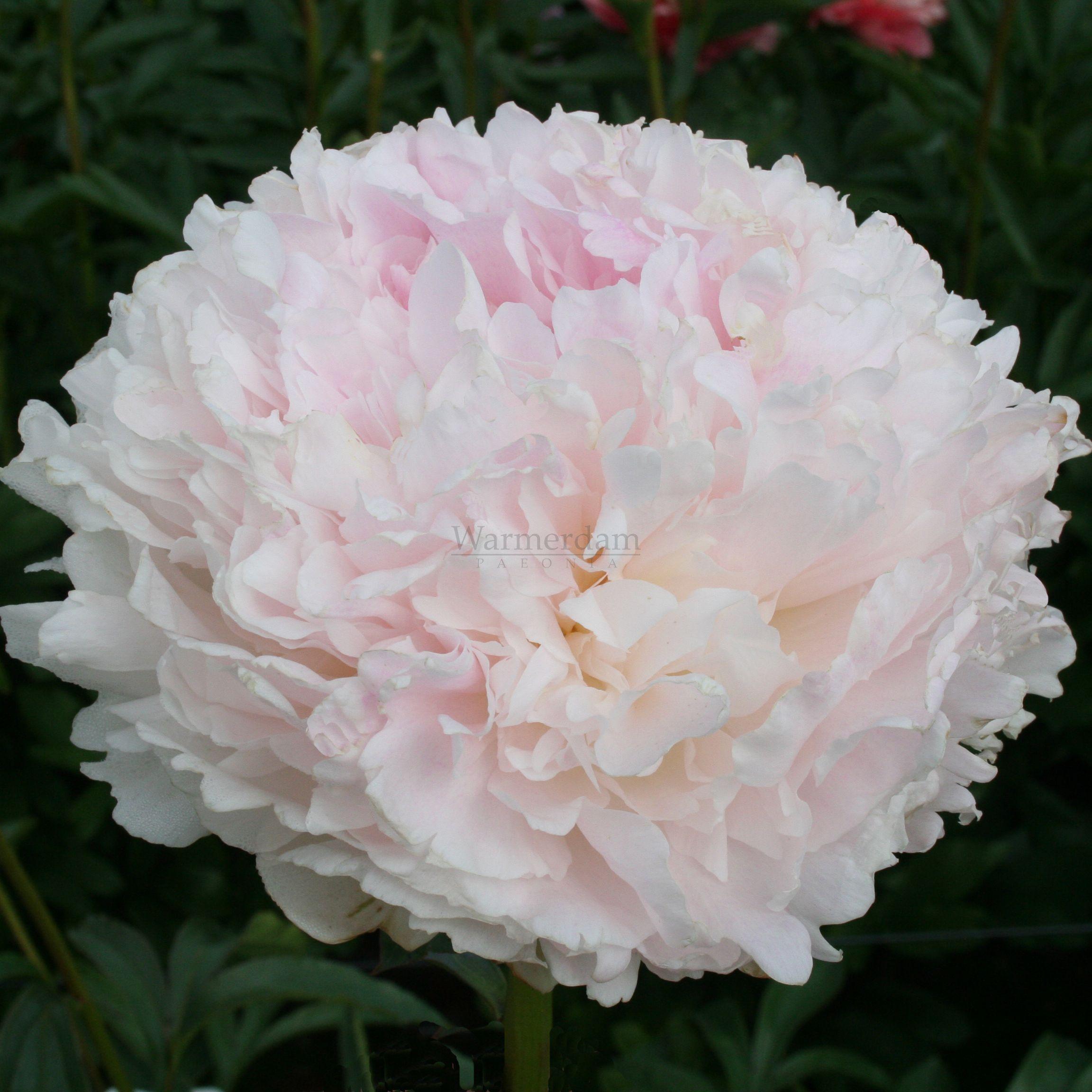 Klehm s pink unknown пион