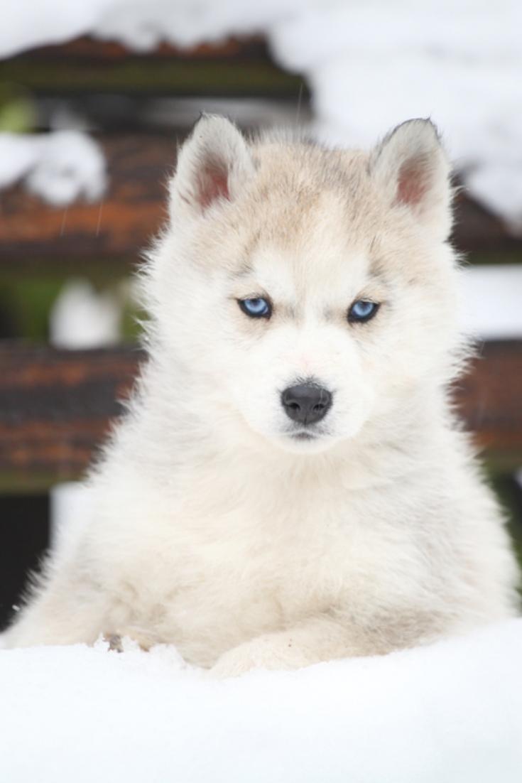 Siberian Husky Puppy Siberianhusky Husky Siberian Husky Siberian Husky Puppy