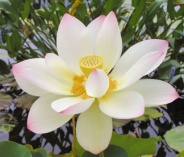 Pin By Donna Chapman On Spiritual Stuff Lotus Flower Meaning