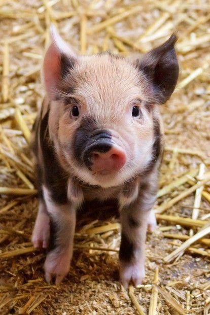 Schweine sind wunderschöne Tiere und verdienen ein gutes Leben