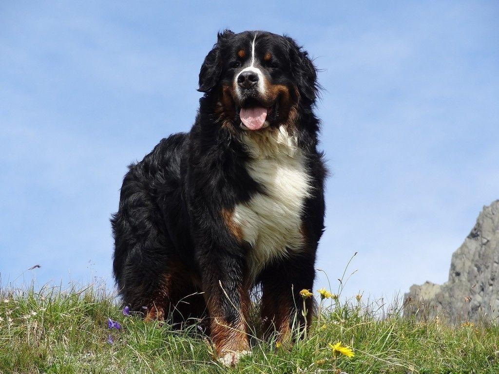 Bernese Mountain Dog Pet Meadow Wallpaper Friendly Dog Breeds Mountain Dog Breeds Dog Breeds