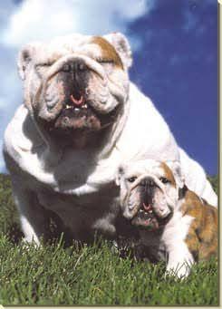 Bulldog and Puppy on Grass