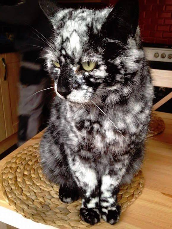 コラ疑惑すら浮上したレア柄の猫。白と黒が細かく入り混じったマーブル模様がすごくかっこいいぞ。 : カラパイア