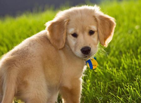 Time For Some Perfectly Darling Golden Retrievers Cute Puppy Names Golden Retriever Cute Puppies