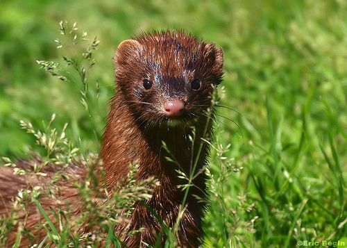 American Mink Vison D Amerique Mink Animal Animals Amazing Animals