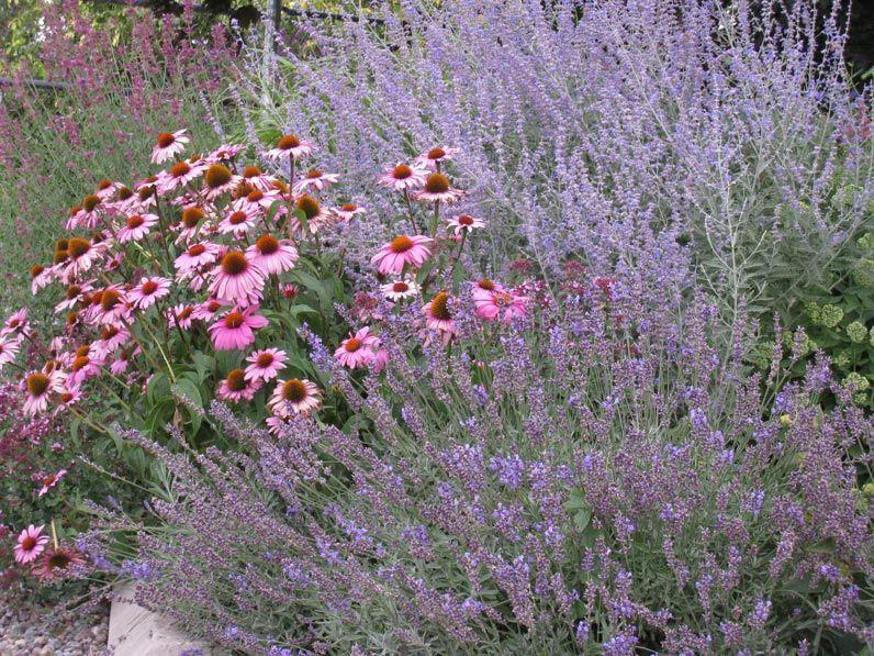 echinacea purpurea magnus with perovskia and. Black Bedroom Furniture Sets. Home Design Ideas