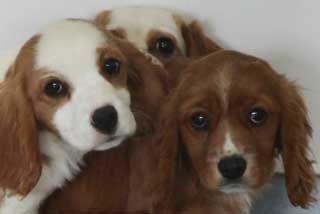 Stunning Pedigree Toy Yorkshire Terrier Pups Bradford West Yorkshire Pets4ho Yorkie Yorkshire Terrier Yorkshire Terrier Puppy Yorkie Toy Yorkshire Terrier