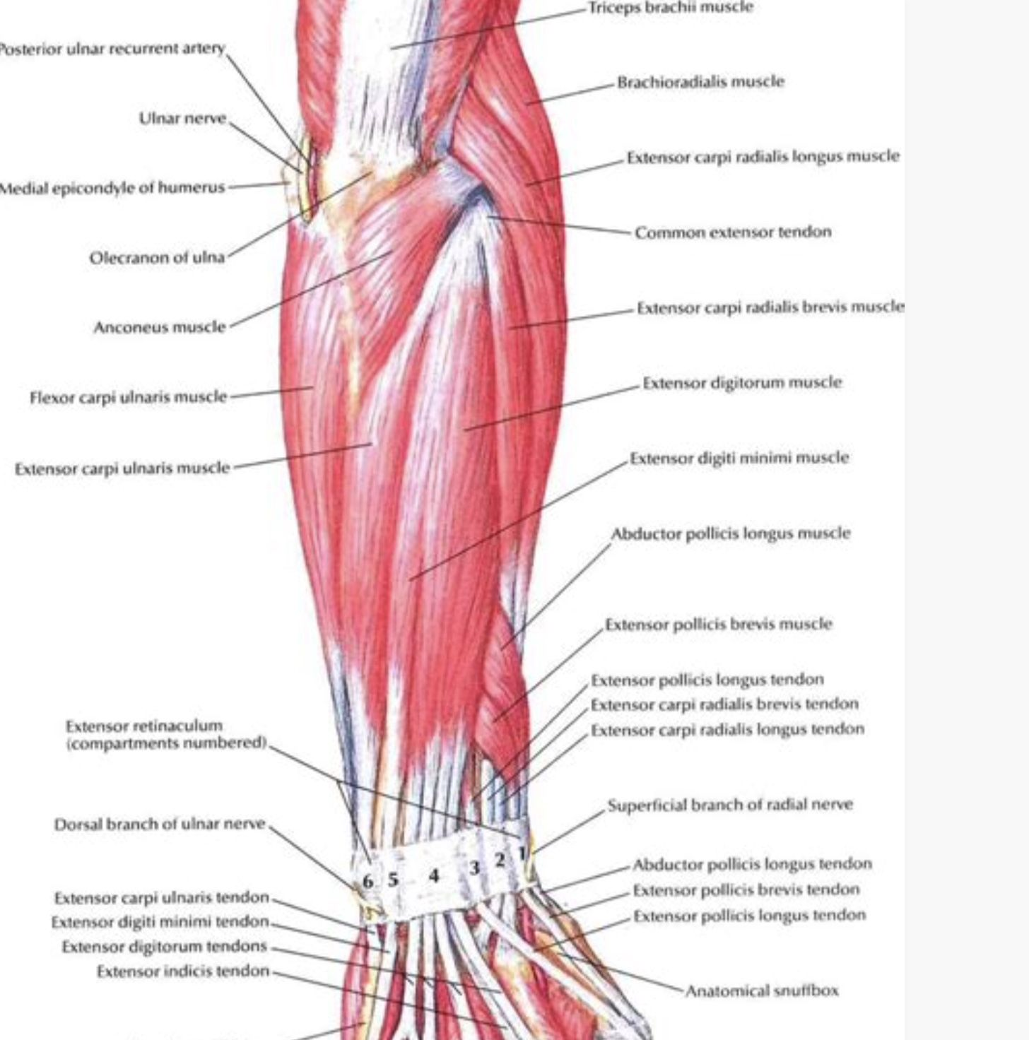 arm tendons diagram pin by lcrc on anatomy review in 2020  with images  extensor  pin by lcrc on anatomy review in 2020