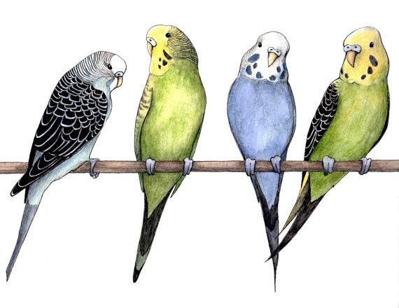 Colorful Budgie Parakeet Bird Drawing Ink & Watercolor Print