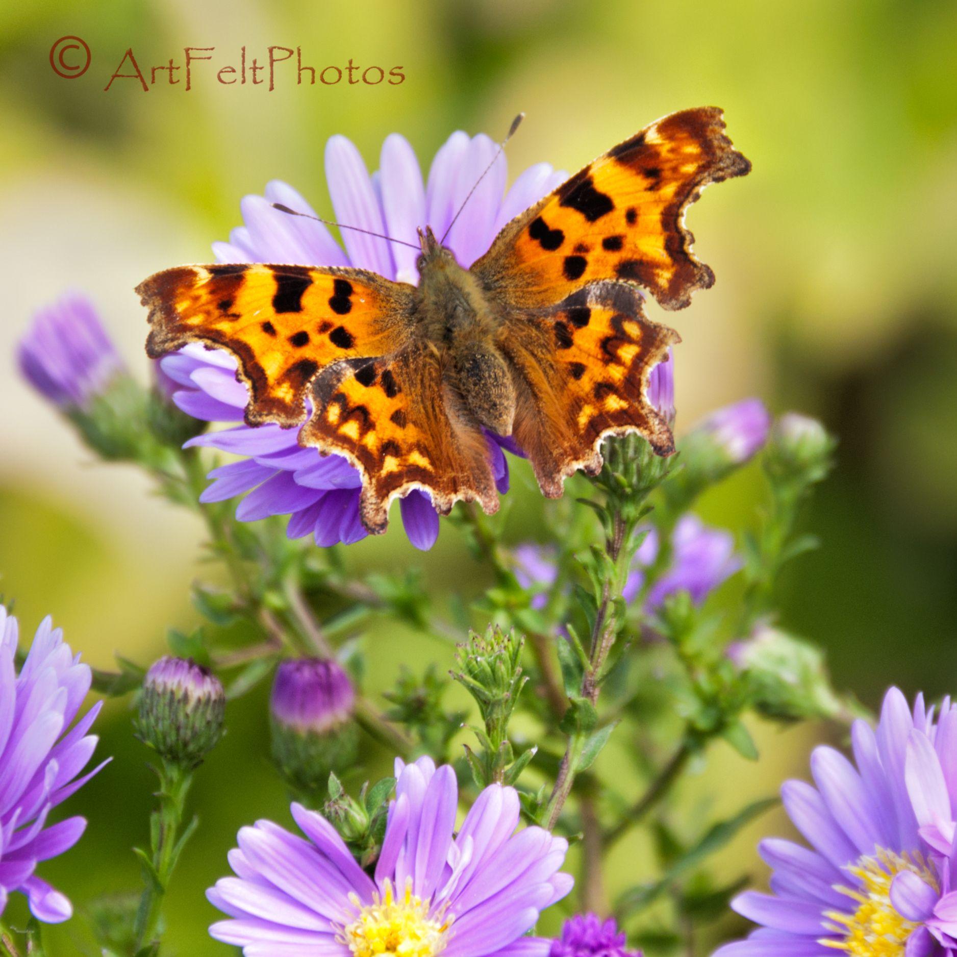 Comma butterfly on Michaelmas daisy