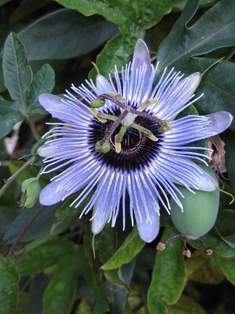 Passiflora Blue Bouquet Flower