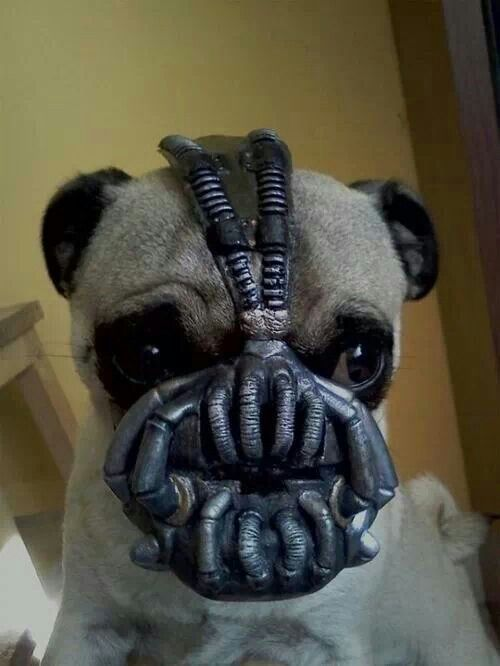 Bane pug