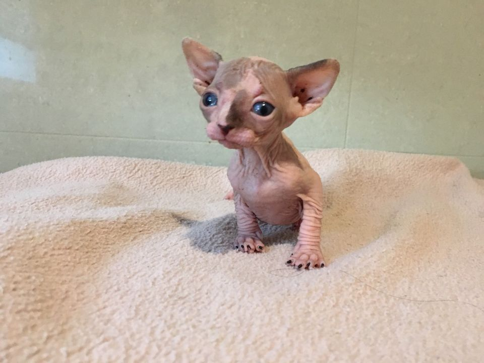 Pin By Anne Peltonen On Cats Baby Hairless Cat Cute Hairless Cat Kittens And Puppies