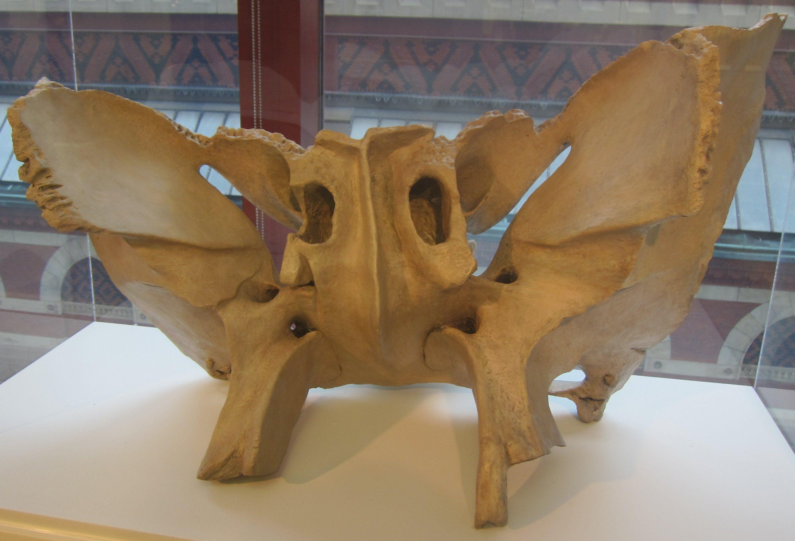 sphenoid bone 3d model – applecool, Human body