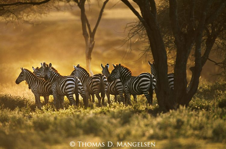 A Herd Of Burchell S Zebras Stand In The Shade Of Acacia Trees In Serengeti National Park Tanzania Zebras God Artwork Beautiful Creature