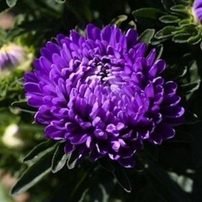 50 Aster Tall Double Gremlin Violet Flower Seeds Under The Sun Seeds Flower Seeds Annual Flowers Lavender Flowers