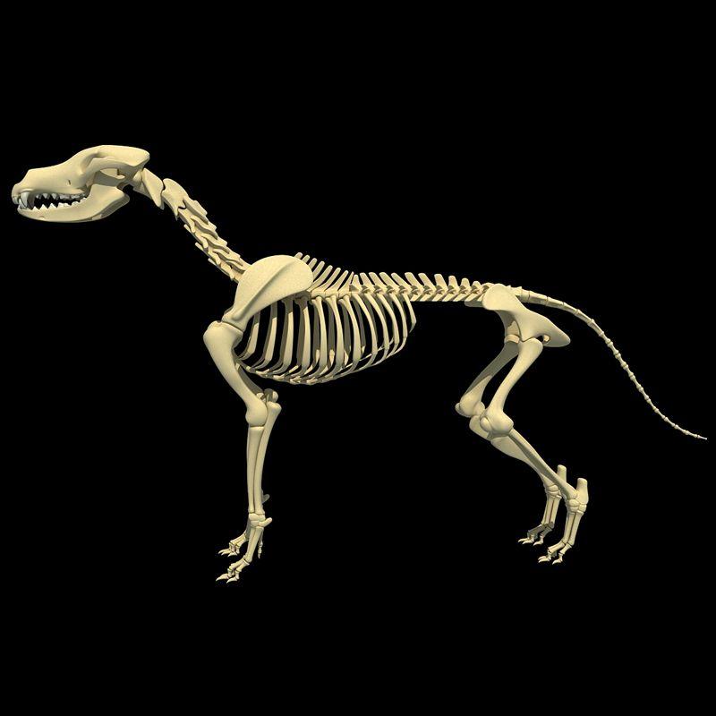 dog skeleton | Dog Skeleton | 3D Models | Skeles | Pinterest | Dog ...