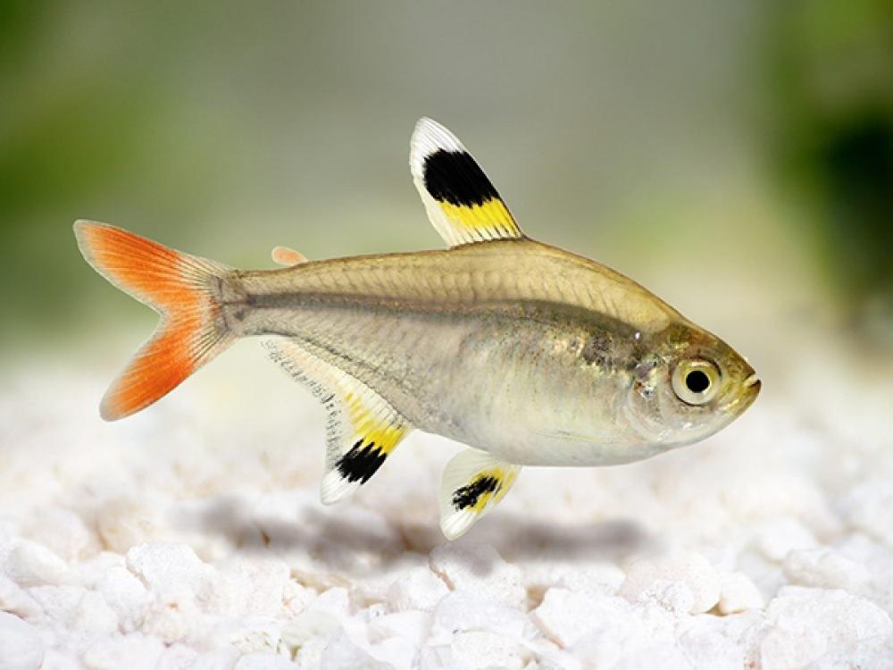 X Ray Tetra In 2020 Tetra Fish Tetra Animals
