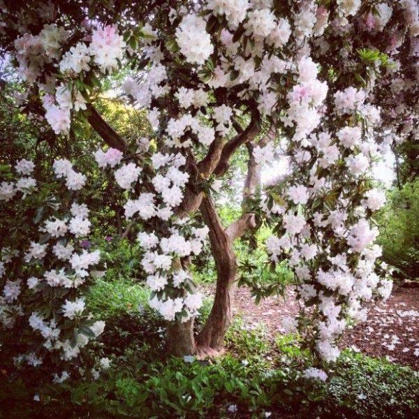 le rhododendron halopeanum fait des fleurs spectaculaires normes les boutons sont rose drage et lclosion les fleurs prennent une couleur blanche - Planter Un Rhododendron Dans Votre Jardin