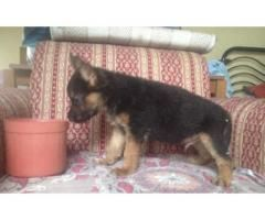 Premium Quality German Shepherd Puppy For Sale Puppies For Sale