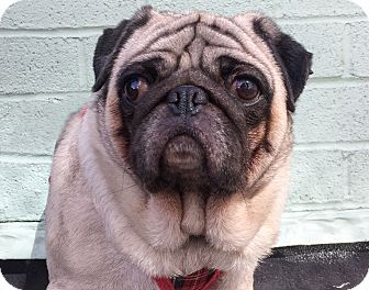 New York Ny Pug Mix Meet Cosmo A Dog For Adoption Http Www
