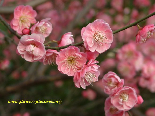 Which Fruit Trees Should I Plant In San Diego Cherry Blossom Wallpaper Apricot Blossom Cherry Blossom Flowers