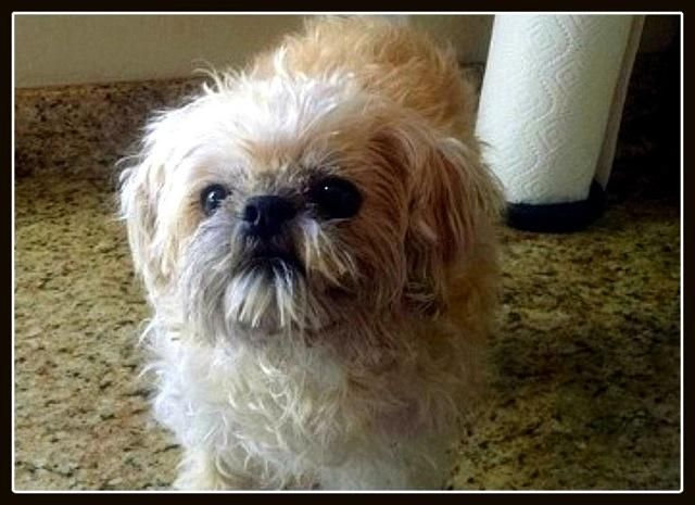 Adopt O Reilly Surprise Az On Petfinder Griffon Dog Brussels Griffon Adoption