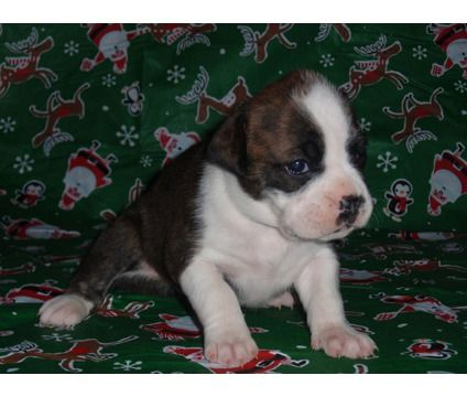 Valley Bulldog Bull Boxer Puppies Born 11 28 12 Rare Is A