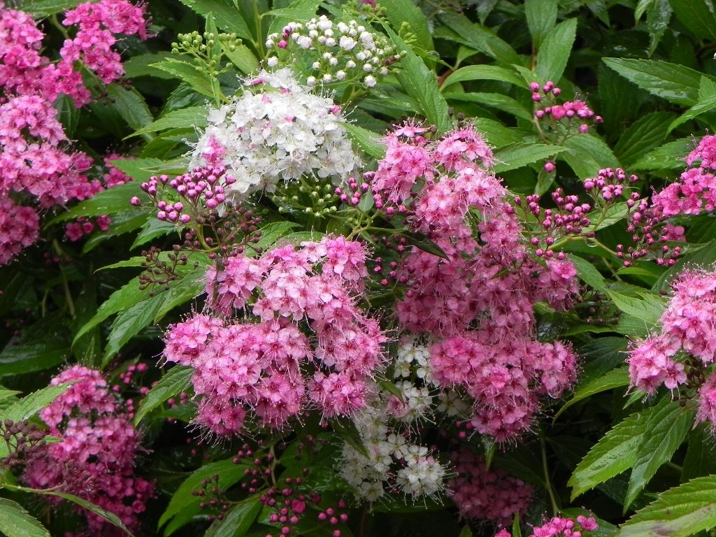 Top Recommended Shrubs For Clay Soil Plants Like Clay A Lot More