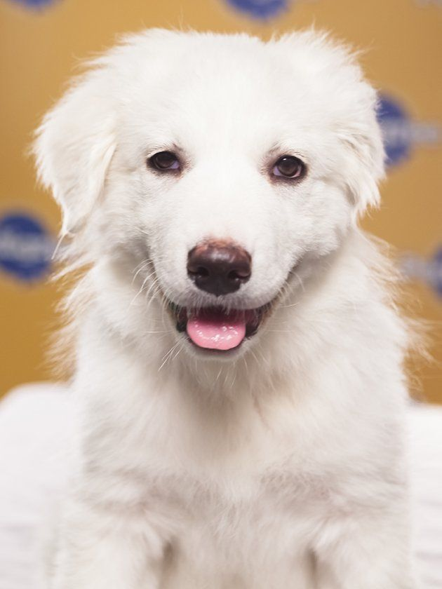 Adorable Great Pyrenees Puppy Puppy Bowls Big Fluffy Dogs Puppies