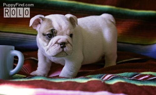 Puppyfind Com Rolo Is A Tiny Akc English Bulldog Puppy With Champ