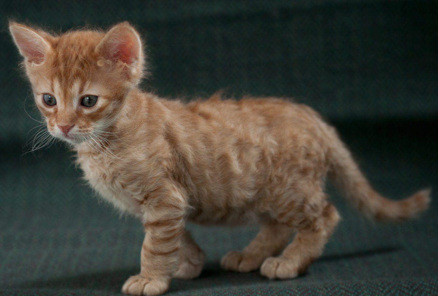 Gato american wirehair. MundoGatos.com | American Wirehair ...