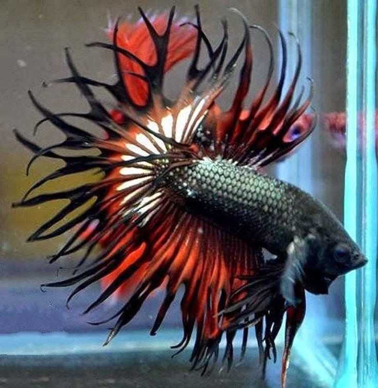 Amazing dragon king crown betta fish bettas pinterest for Poisson betta bocal