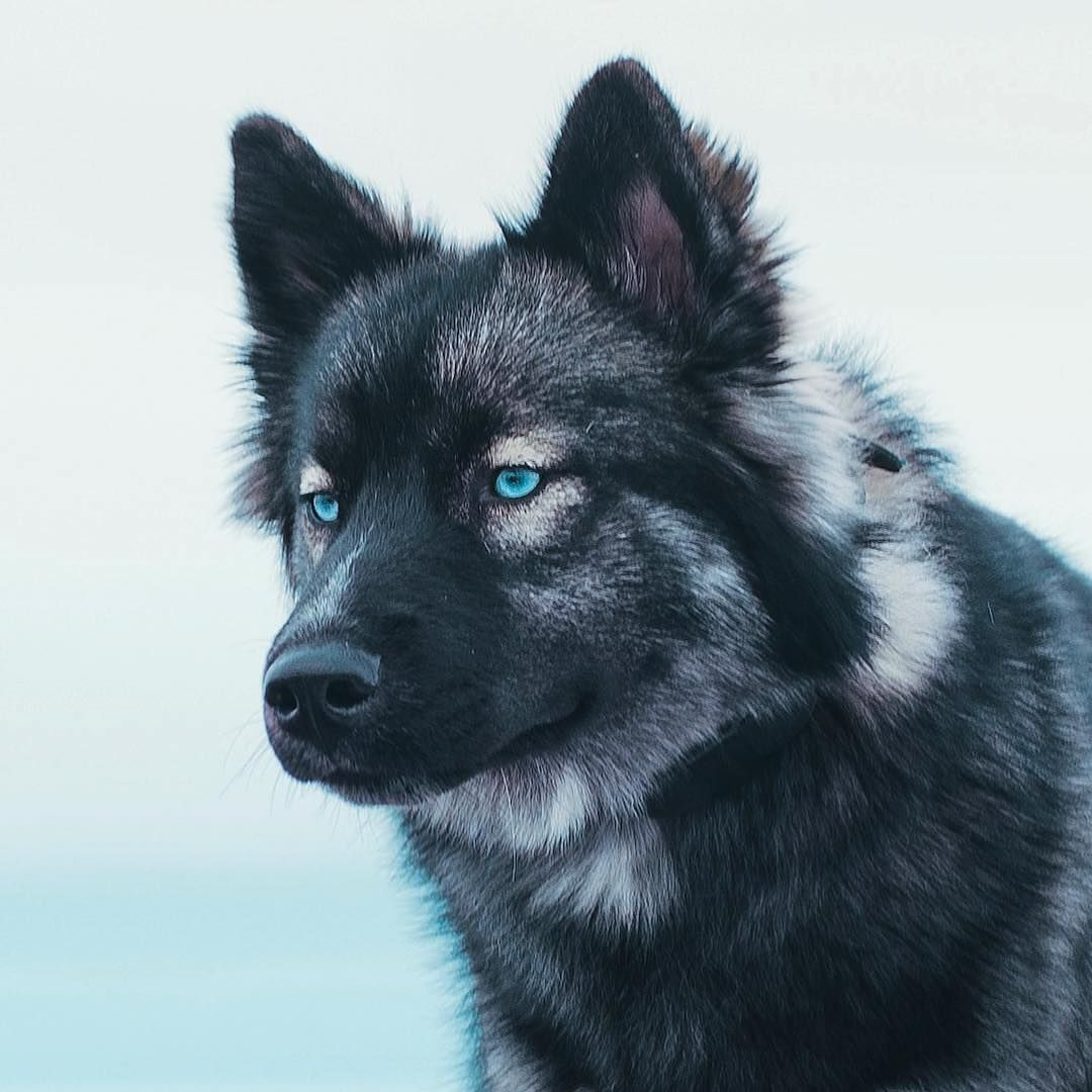 Siberian Husky Agouti