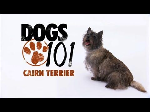Cairn Terrier Pictures Posters News And Videos On Your Pursuit