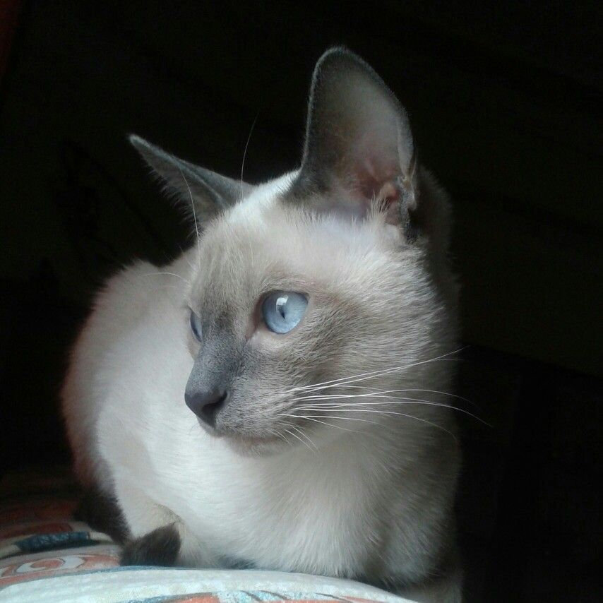 Tango Blue Point Siamese Cat Siamese Cats Beautiful Cats Kittens